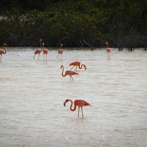Flamingos at taylor bay